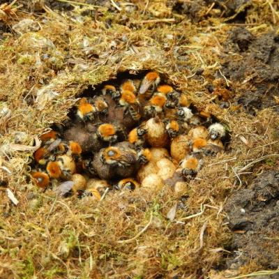 Ob e6c0db nid de bourdon roux bombus pascuorum